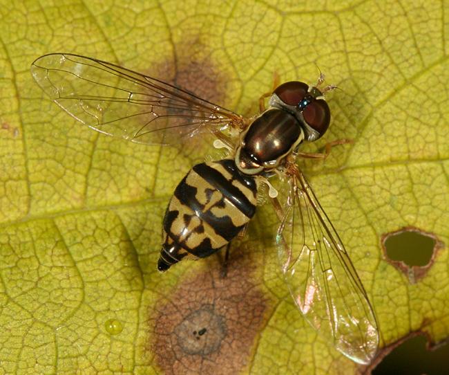 Toxomerus geminatus (female)
