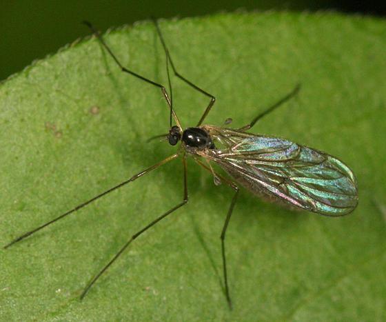 Bolitophila sp.