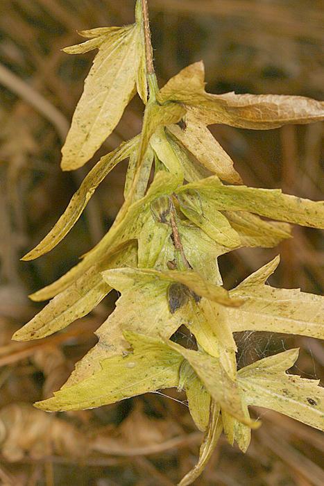 Ironwood seeds