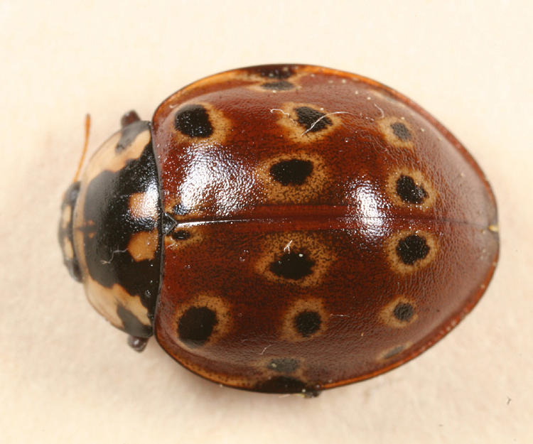 Eye-spotted Lady Beetle - Anatis mali