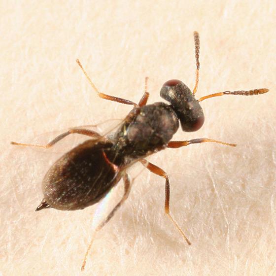Pteromalidae