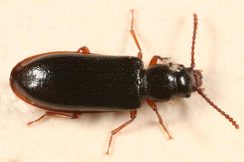 Priognathus monilicornis
