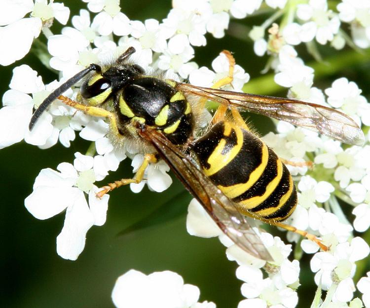 Vespula maculifrons (Eastern Yellowjacket)