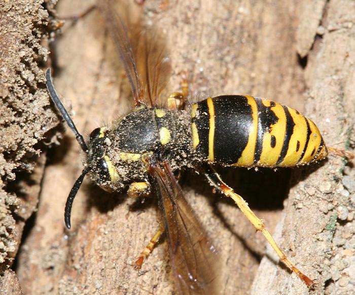 Vespula vidua (queen Ground Hornet)