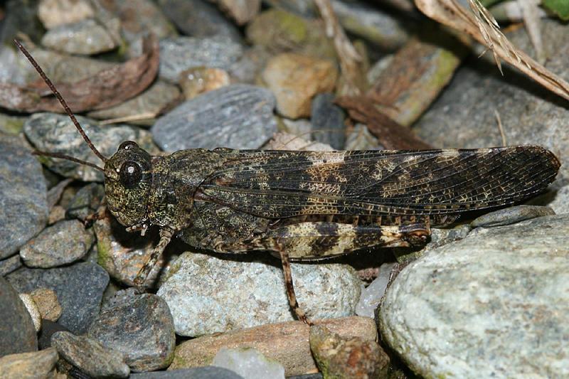 Crackling Forest Grasshopper - Trimerotropis verruculata