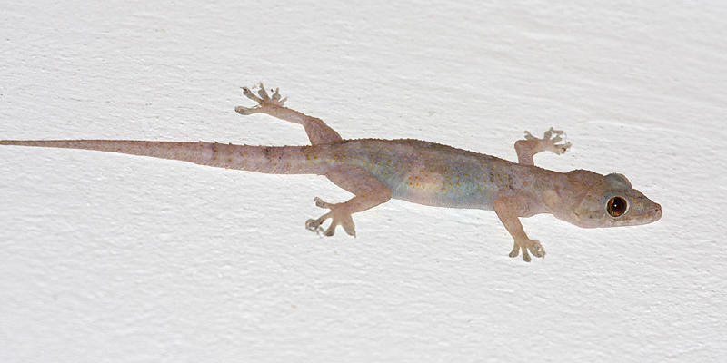 Common House Gecko - Hemidactylus frenatus
