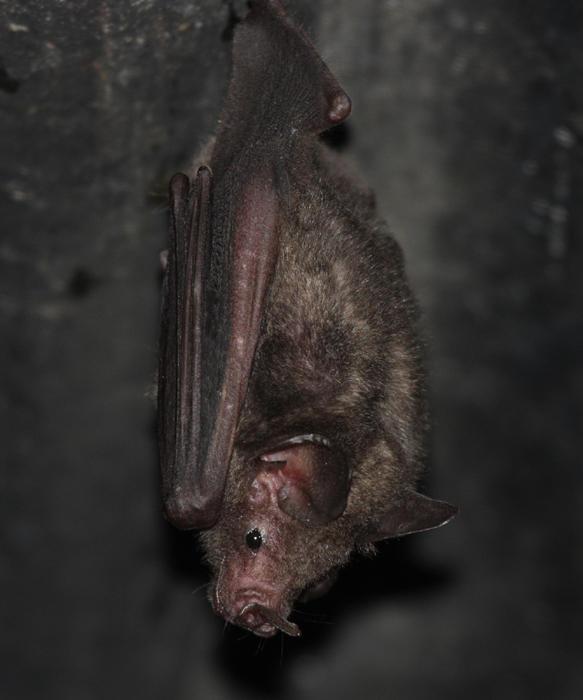 Sebas Short-tailed Fruit Bat - Carollia perspicillata