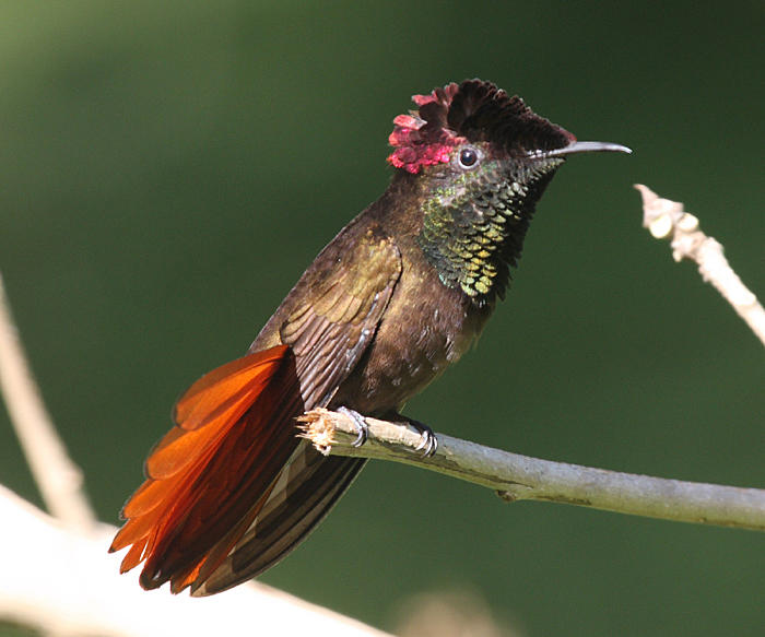 Ruby-Topaz Hummingbird - Chrysolampis mosquitus