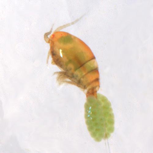 Copepoda - Cyclopoid copepods - Cyclopoida - Cyclopoida - Cyclopidae