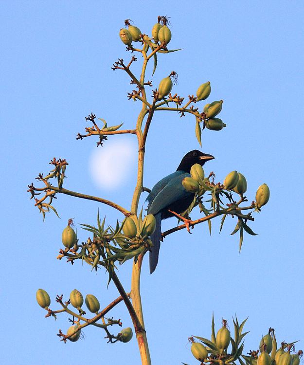 Yucatan Jay - Cyanocorax yucatanicus, and the moon