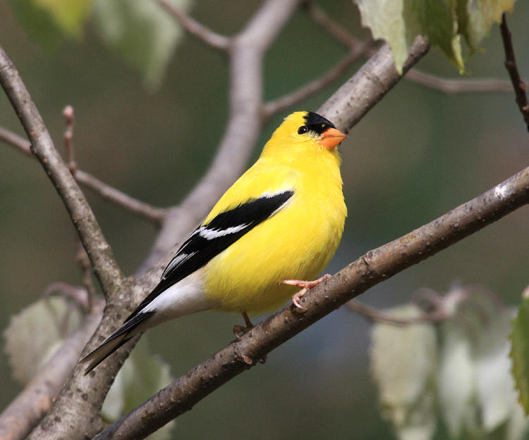 American Goldfinch - Carduelis tristis (male)