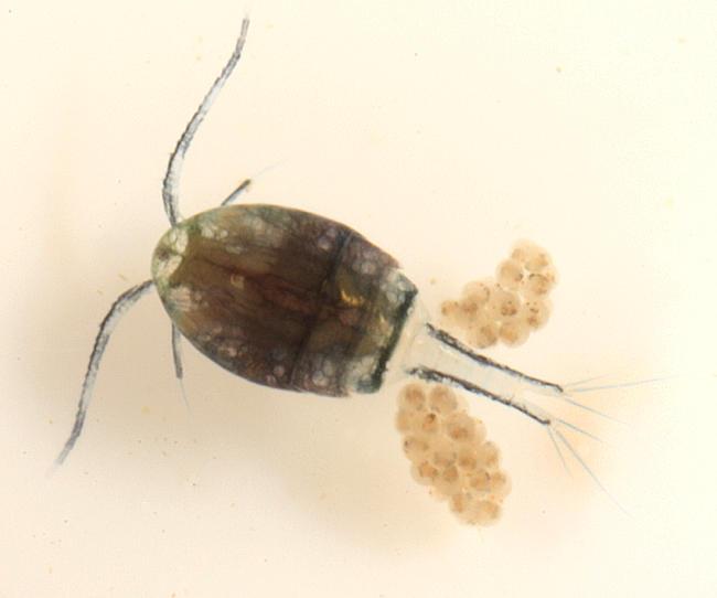 Cyclopoida - Cyclopidae
