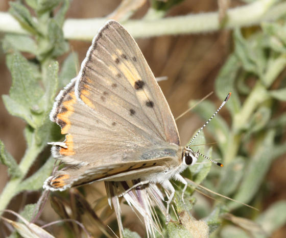 female Great Copper - Lycaena xanthoides