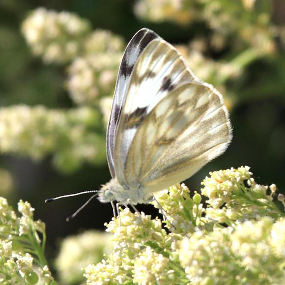 Checkered White - Pontia protodice
