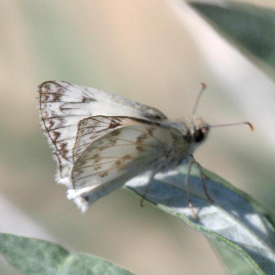 Northern White-Skipper - Heliopetes ericetorum