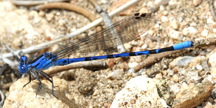Vivid Dancer - Argia vivida