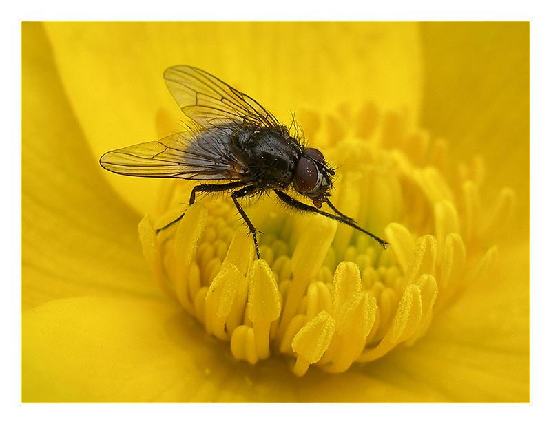 Fly on a Marsh Marigold...