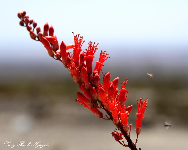 desert flower, ocotillo blossom, Anza-Borrego Desert State Park, California