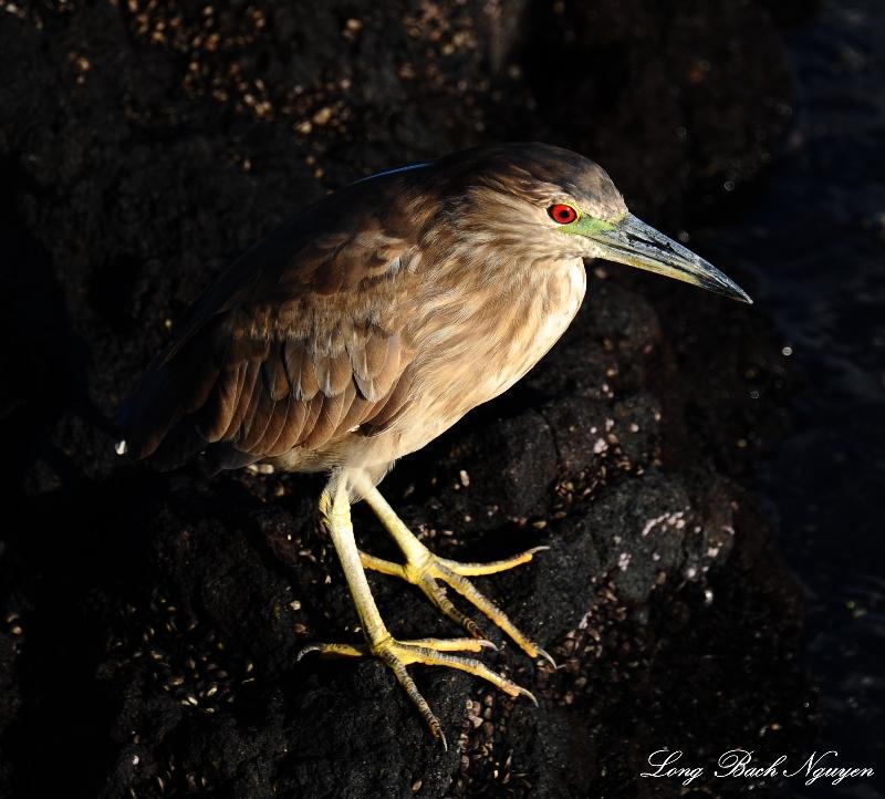 juvenile night crowned heron, Waipuhi Fishpond, Mauna Lani Resort, Big Island, Hawaii