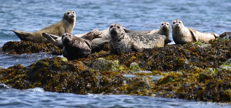 seals, Broken Group Island, Barkley Sound, Vancouver Island, Canada