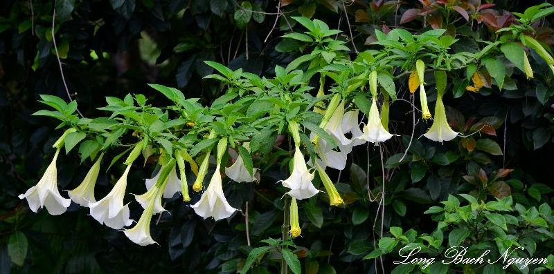 Trumpet Flowers Kailua Kona Hawaii