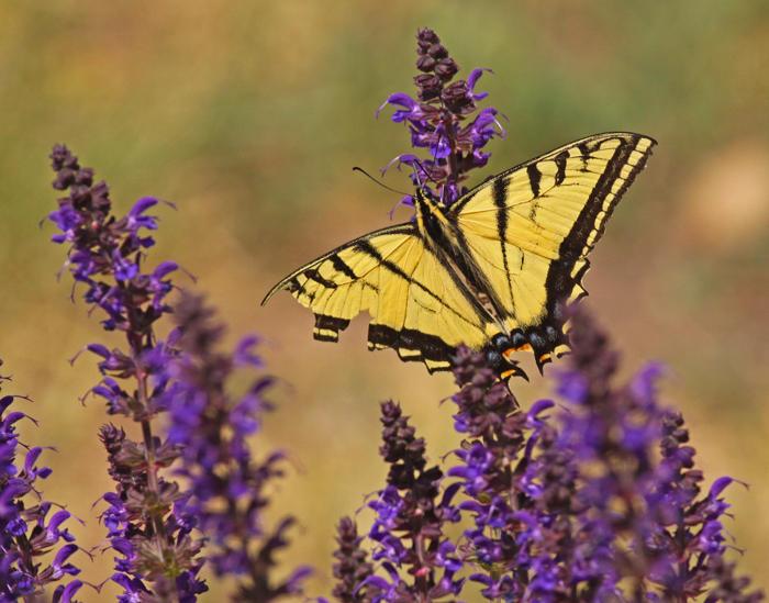 swallowtail-II.jpg