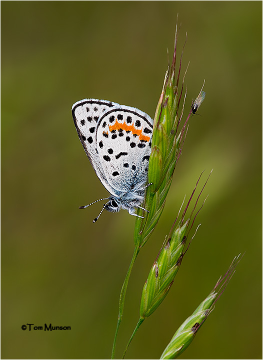Square-spotted Blue