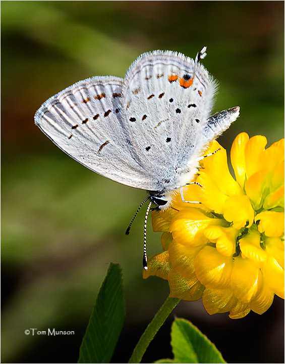Tailed Blue