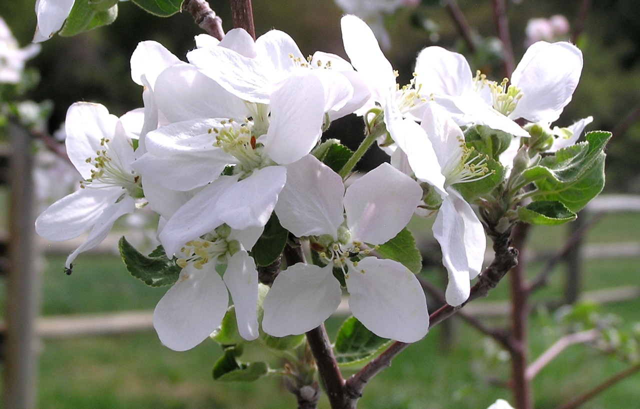 Apple blossoms P1010105.jpg