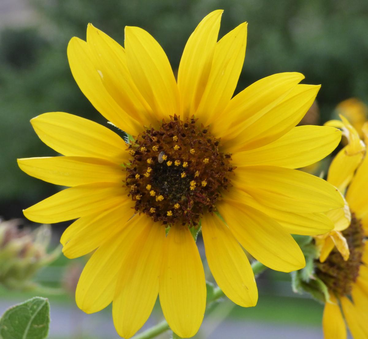 sunflower P1000031.jpg