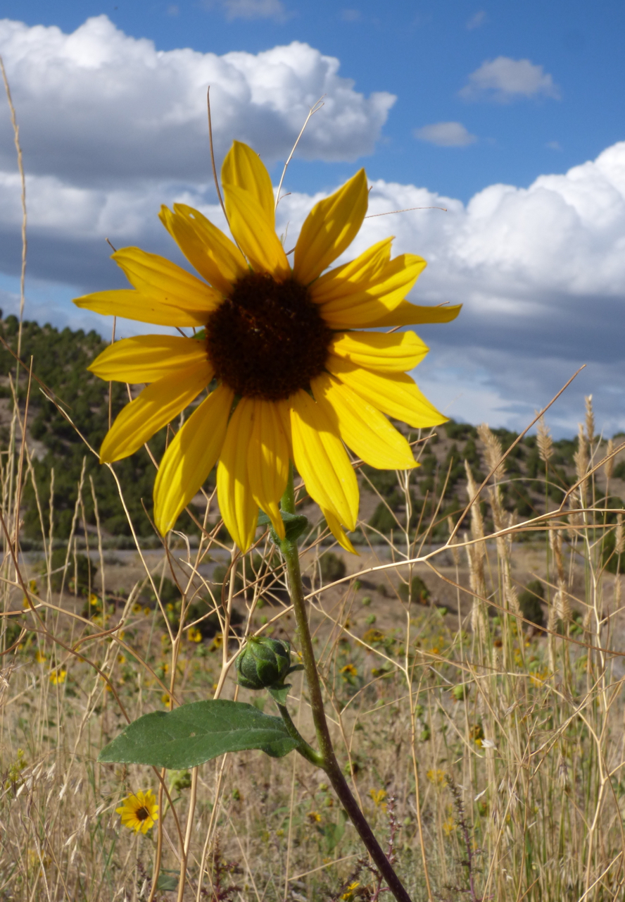 Sunflower from Blackrock-Chinese Peak Trail P1000076.jpg