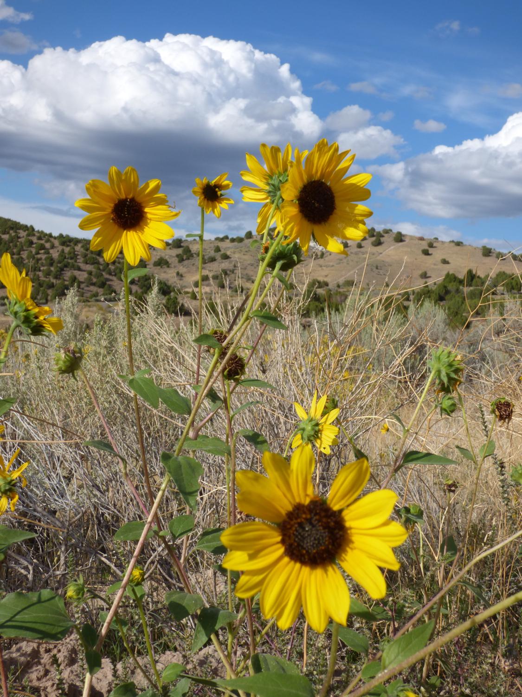 Sunflowers on Chinese Peak Trail P1000096.jpg