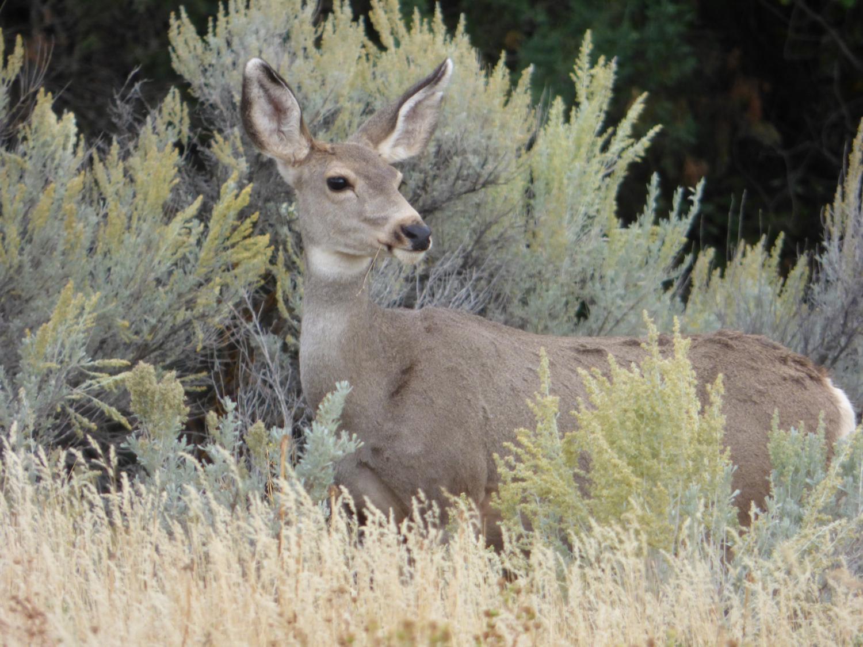 Mule Deer at Gibson Jack eating amidst sagebrush P1000357.jpg