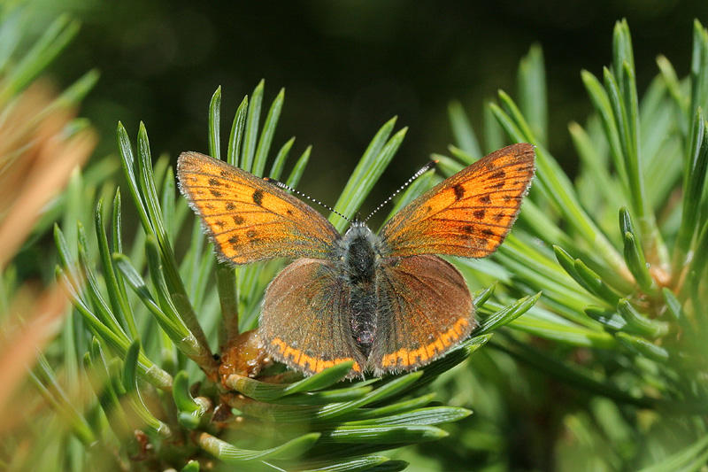 Purple-edged Copper - Lycaena hippothoe
