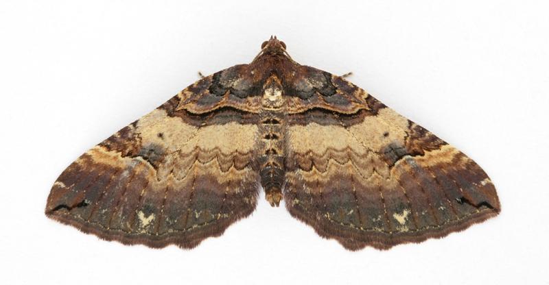 1746 Shoulder Stripe