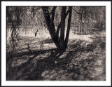 Willow Tree and Shadows