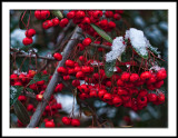 Pyracantha with Snow