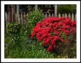 Entrance Garden Azalea