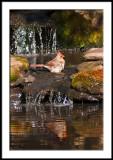 Cardinal Bathing/Reflected