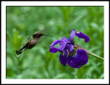 Hummingbird and Iris in the Rain