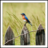 Eastern Bluebird on Fence