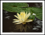 Reflected Waterlily