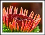 Echinacea macro