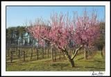 Cherry Blossoms in the Vineyard