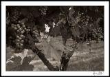 Trellised Grapes