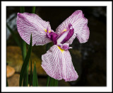 Fly Like a Butterfly (Japanese Iris)