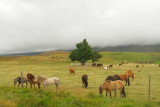 DSC01066.jpg Iceland! Icelandic Horses ... 2 other images in this gallery- also read...