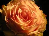 CAROLYN'S ROSE