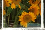 click!.... SUNFLOWERS SEEN THROUGH THE LOOKING GLASS...