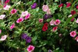 DSC06295charlesstreetflowersnewflowersoldbloomschanges.jpg